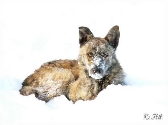 Foxi (16)