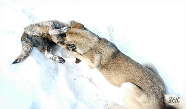 Foxi (4)