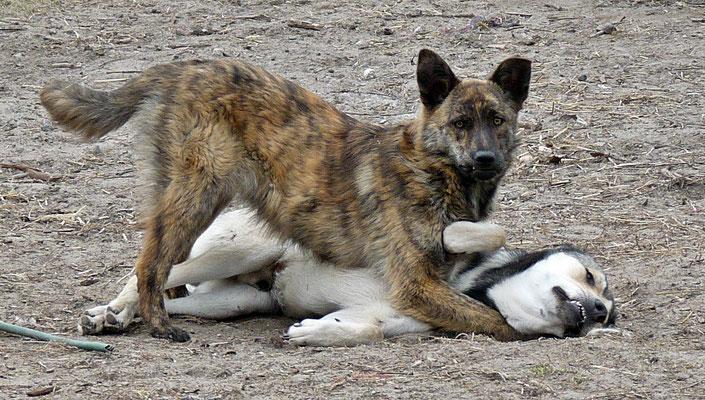 Foxi (7)