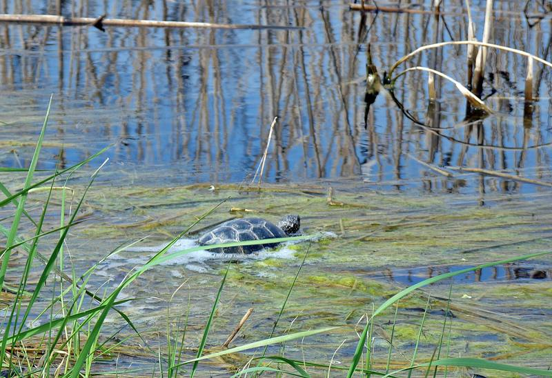 turtles (16)